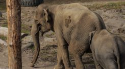 Thumbnail of http://Oregon%20Zoo%20Elephant%20Lands%206